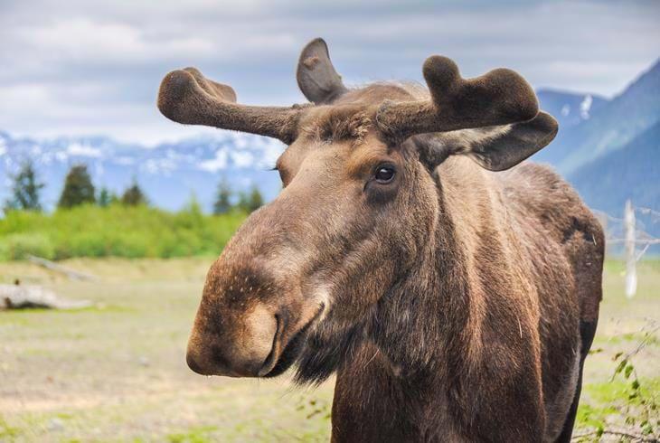 Elg i Denali National Park