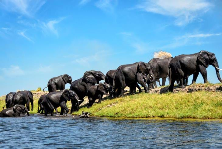 Elefanter i Chobe National Park