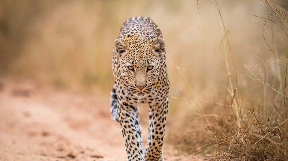 Leopard i Kruger National Park