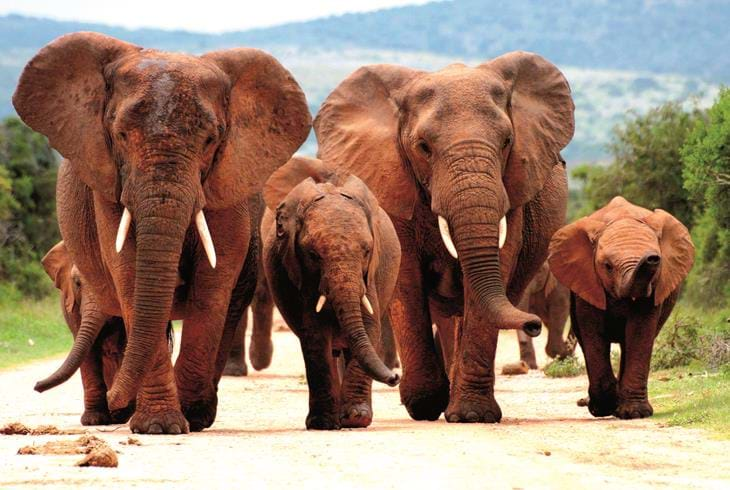 Elefanter i Addo Elephant National Park