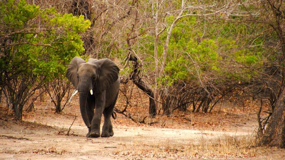 Elefant i Liwonde National Park