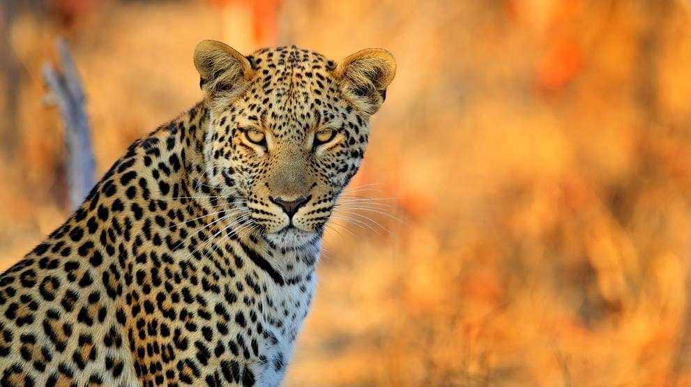 Leopard i Hwange National Park under en safari i Zimbabwe
